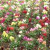 3 plante anuale pentru gradina ta!
