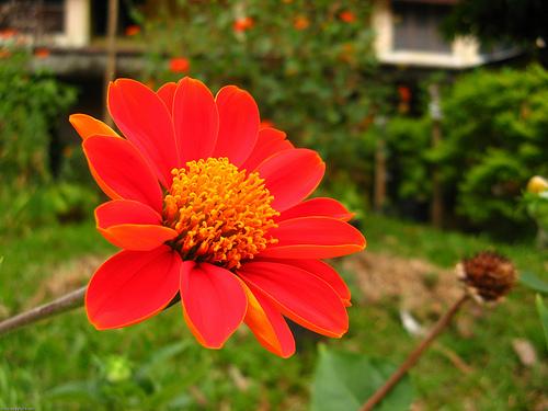 Floarea carciumaresei