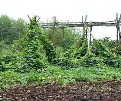 legume in gradina