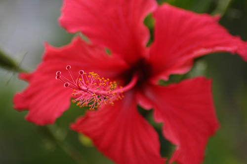 Hibiscus Hawaian