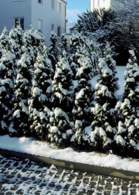 plante conifere