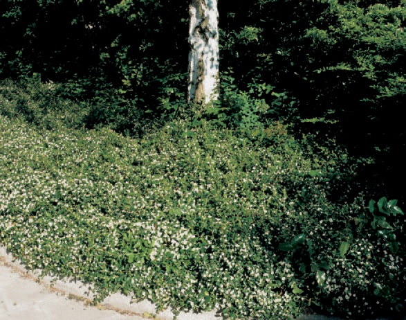 plante vesnic verzi