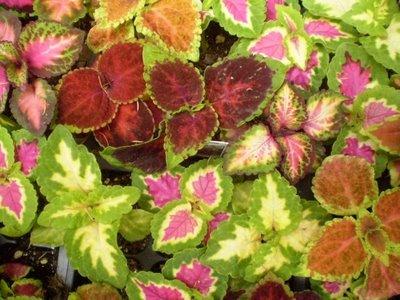 Solenostemon scutellariodes. Sursa:plantsarethestrangestpeople.blogspot.com