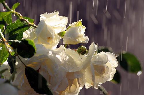 Trandafirul Paloma Blanca