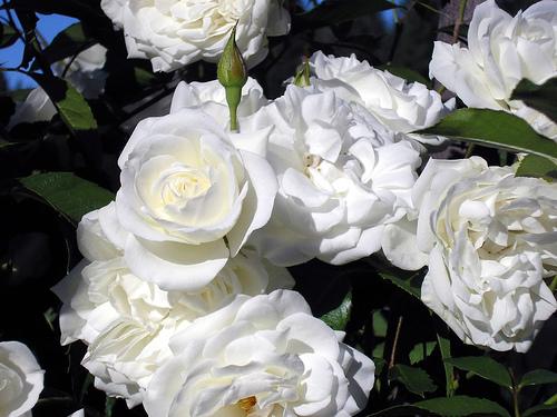 Buche natural de trandafiri albi