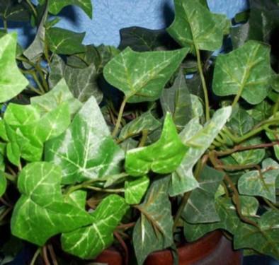 Iedera- Planta cu frunze veşnic verzi