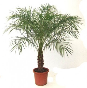 Palmierii plante decorative prin frunze for Les plantes decoratives