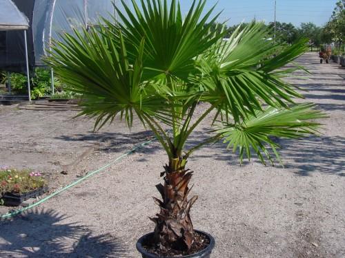 Palmierii