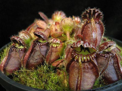 Цефалотус выращивание из семян 70