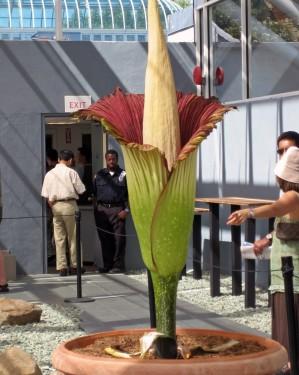 Floarea cadavru