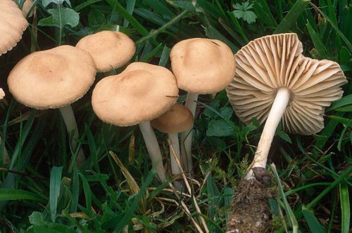 Ciupercile - Totuşi, care sunt otrăvitoare?