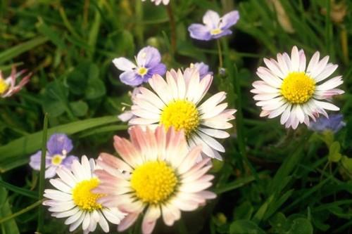 Bănuţei de grădină: Bellis