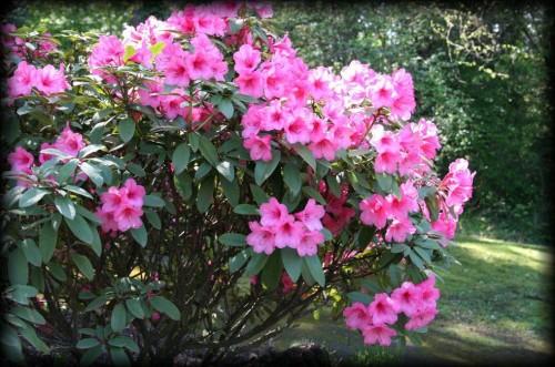 Arborii şi arbuştii ce înfloresc cel mai frumos