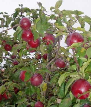 Mărul
