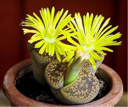 Floarea de piatră