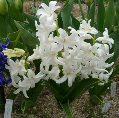 Zambila (Hyachinthus)