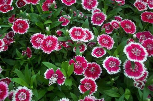 Garoafa (Dianthus)